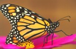 monarch_butterfly.jgp